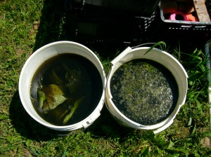 Comfrey and Nettle tea