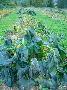 Spent Zucchini Plants