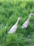 And back by popular demand......the Indian Runner Ducks