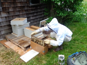 Beekeeper TJ introducing the bees to Rootdown