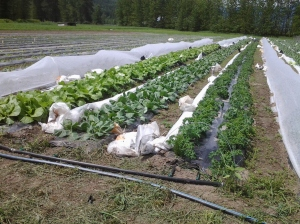 Beautiful napa cabbage, cauliflower and kale