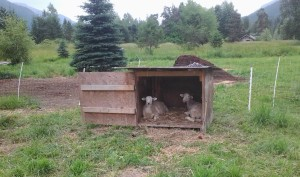The lambs hang out in their house
