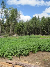 Potato crop on Chiloe, one of the potential birth places of potatoes